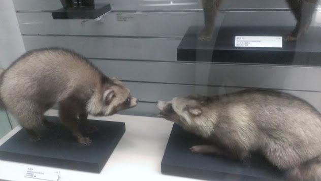 北九州市に付近にいる動物紹介です。たぬき、ひじきにそっくりです。