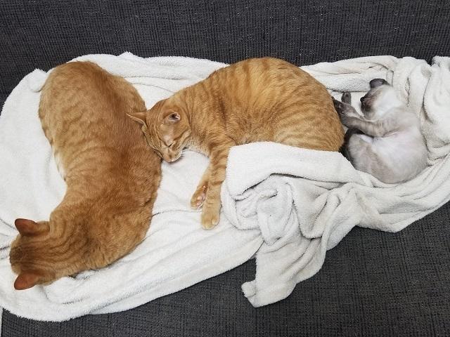 テン、トラ、シオでお昼寝
