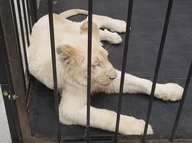 ホワイトライオン休憩中