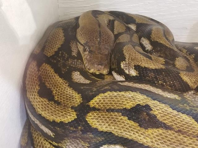 ふれあい不可のニシキヘビ