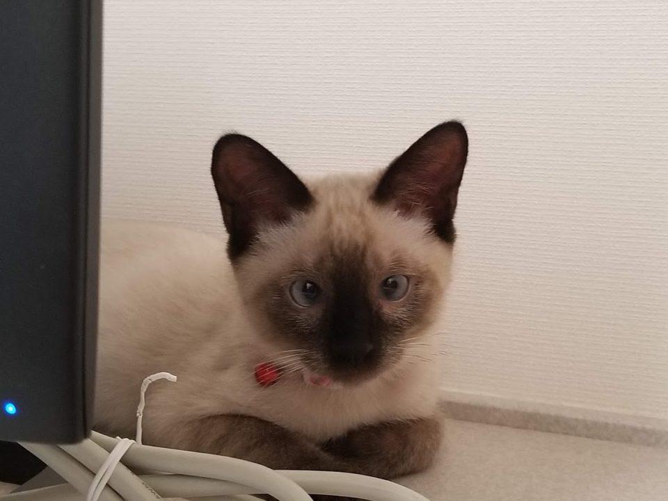 PCから顔を出す猫