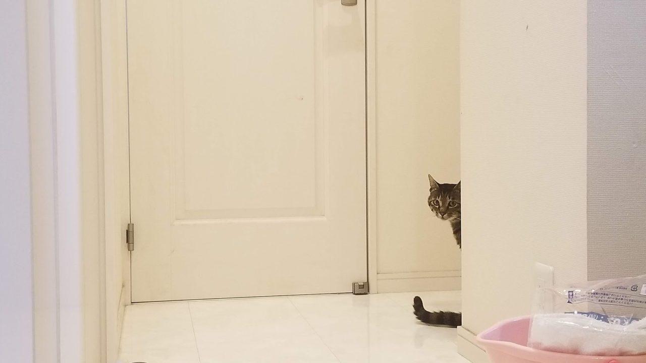 ついに我が家の猫になった保護猫